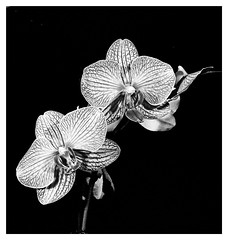 Orchids with Fine Red Veins