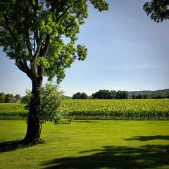 Grape Vines at La Grange