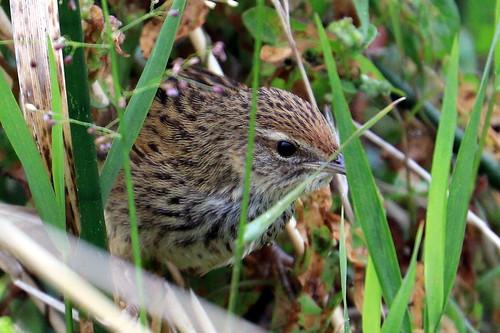 Fernbird.