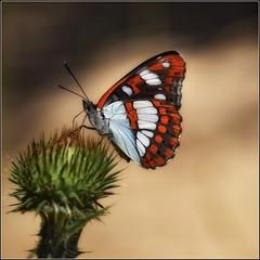 L'élégance du papillon