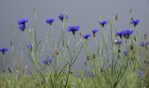 Auf der Straße über die Sieben Berge - Kornblumen (Centaurea cyanus) in einem Weizenfeld; Norderstapel, Stapelholm (7)