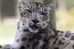 snow leopard   Richmond Virginia zoo