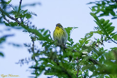 Serin cini - Photo of Blanquefort