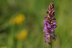 L'Orchis odorant (Gymnadenia odoratissima) - Jardin des Marnes - Eternoz
