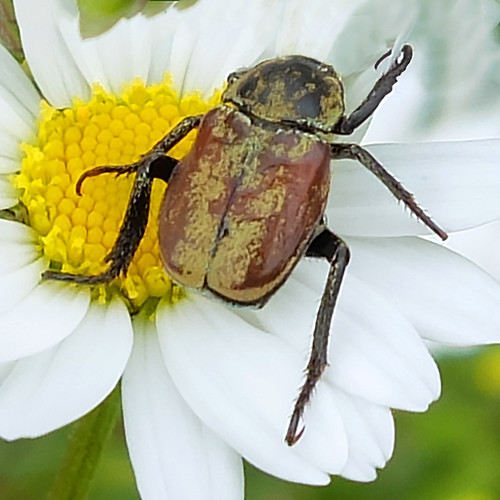 Beetle loves daisy - or something else - .