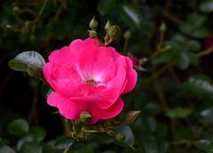Rose 092