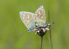 Adonis Blue (Polyommatus bellargus) - Photo of Baneuil