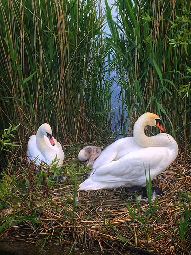 New family, 2 cygnets with mama and papa swan   ☀️. Happens every summer almost the same spot as before 😍😍😍