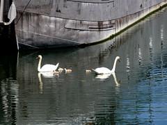 Cygnes sur la Seine - Photo of Saint-Gratien