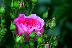The Rose-flower among buds...