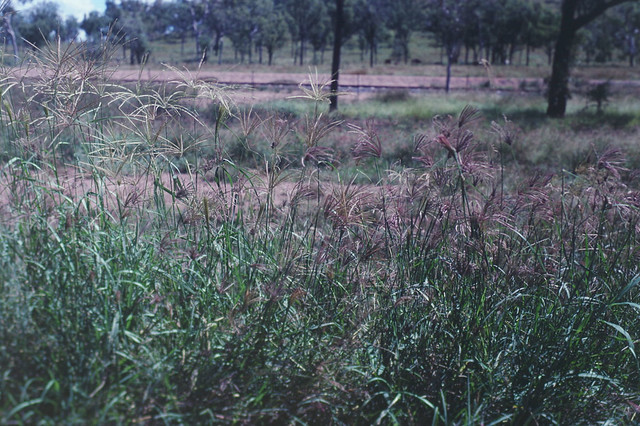 Chloris gayana [left] and C. inflata, north of Woodstock, south of Townsville, QLD, 25/04/89