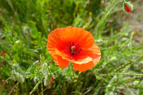 Roadside Poppy