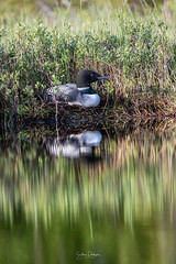 Image by spwasilla (spwasilla) and image name Reflections photo  about Common loon sits on nest.  Hoping to see chicks this week!