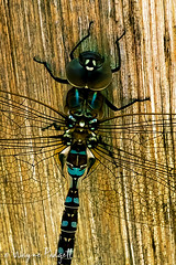IMG_8608 Dragonfly in Wasatch Hollow