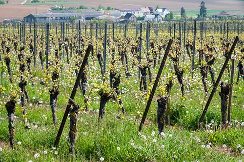 Vigne et Pissenlit (Kuttolsheim, France)-101