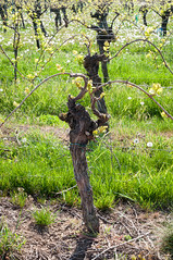 Vigne et Pissenlit (Kuttolsheim, France)-105 - Photo of Zehnacker