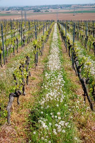 Vigne et Pissenlit (Kuttolsheim, France)-100