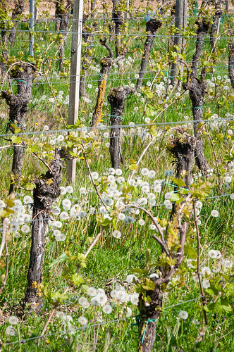 Vigne et Pissenlit (Kuttolsheim, France)-103