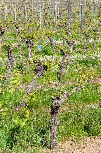 Vigne et Pissenlit (Kuttolsheim, France)-102