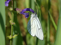 Black-veined White (Aporia crataegi) - Photo of Baneuil