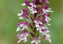 Burnt Orchid (Neotinea ustulata) - Photo of Cause-de-Clérans