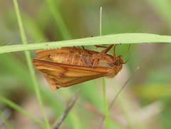 Ghost Moth (Hepialus humuli) - Photo of Baneuil