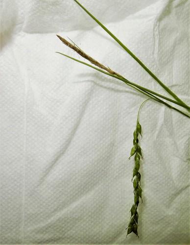 Carex arctata