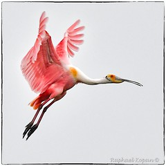 Roseate Spoonbill  approach (2 of 3)
