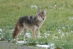 Newcomer Coyote at Metzger Farm Open Space, Colorado