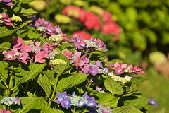 Hortensias. Hydrangeas - Photo of Branne