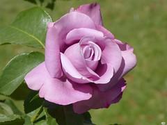 Rosa1156