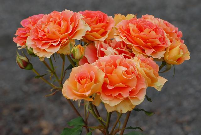 Peggy Rockefeller Rose Garden, NY Botanic Garden, Bronx, New York