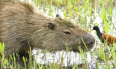 Capybara (Hydrochoerus hydrochaeris) grazing ...