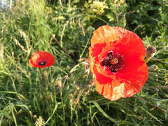 Coquelicot - Photo of Sequedin