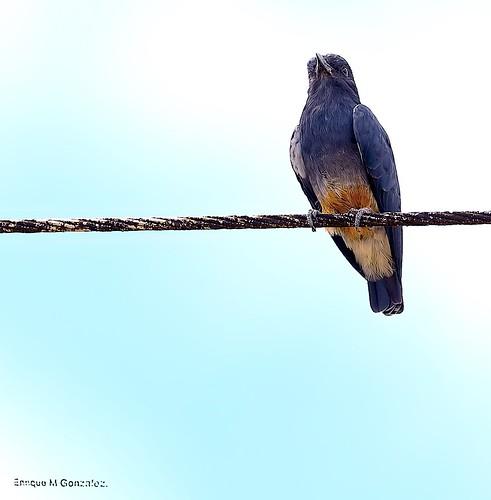 Swallow -winged Puffbird.