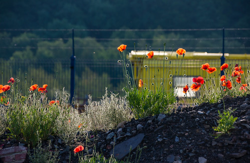 Summer's sun on train and poppies.