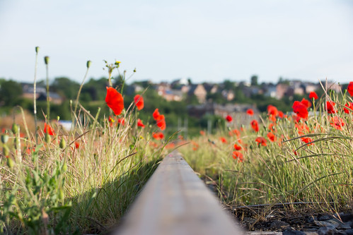 Poppies above the rail.