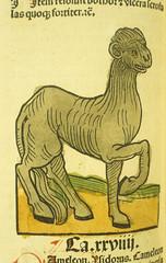 Camelon