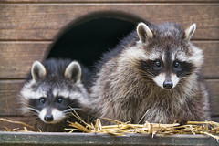 Two raccoons at the house