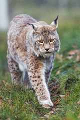 Female lynx walking