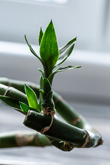 Branch of bamboo with small leaves on the window background