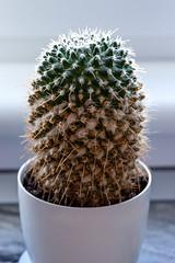 Mammilaria cactus in a white pot