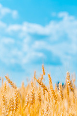 Field with Golden wheat ears with blue sky and beautiful clouds