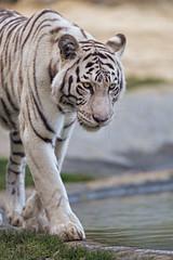 Arisha walking in her enclosure