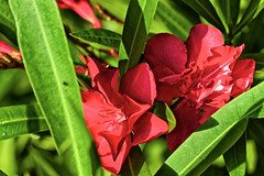 Bienvenue dans mon jardin. Welcome in my garden. Laurier-rose, Nerium oleander - Photo of Branne