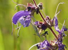 Meadow Clary (Salvia pratensis) - Photo of Baneuil