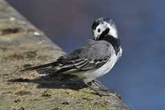 Bergeronnette grise - Motacilla alba - White wagtail - Photo of Toulouse