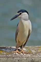 Bihoreau gris - Nycticorax nycticorax - Black-crowned night heron - Photo of Toulouse