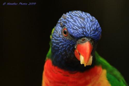 Rainbow lorikeet - Allfarblori