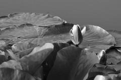 Water-lily / Кувшинка